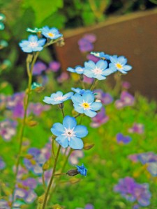 forget-me-not-nice