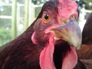 Ominous Chicken